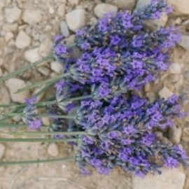 fresh-cut-lavender-bunch-on-rocks